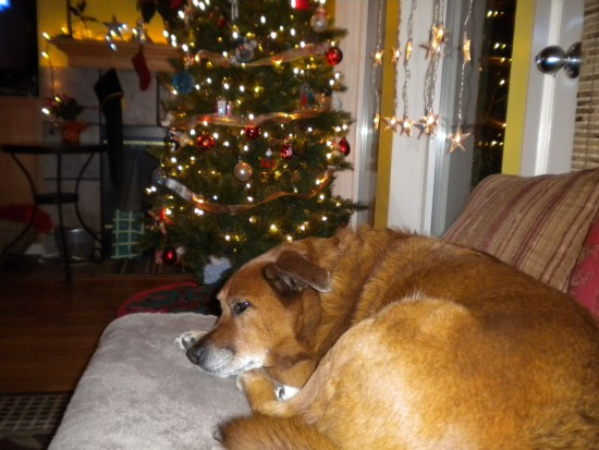 Nutmeg dreaming of Christmas.